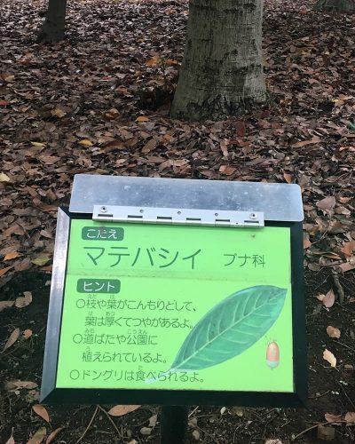 千代田区北の丸公園のマテバシイ