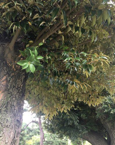 スダジイの葉の特徴