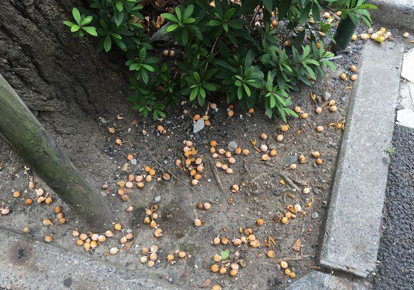 イチョウの木から落ちた銀杏