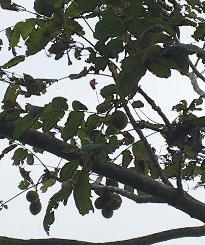 木になるクルミの実