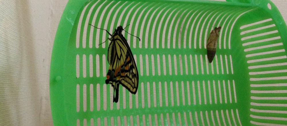 蝶になった青虫