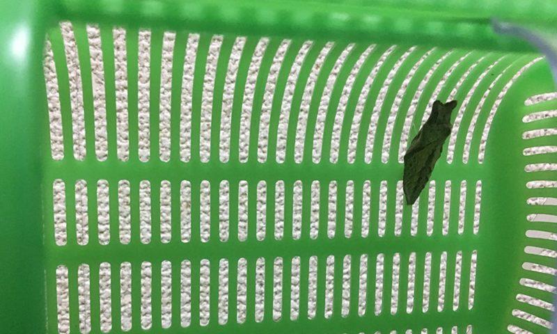 2週間後の蛹(さなぎ)