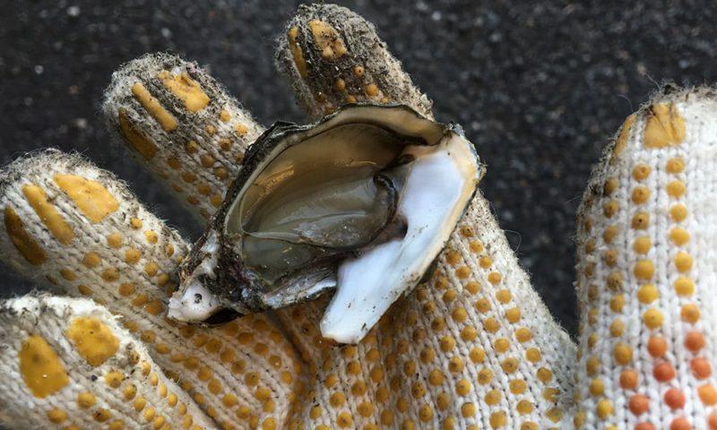剥いた牡蠣