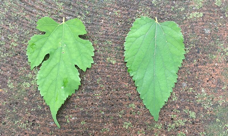 同じ木から採取した桑の葉