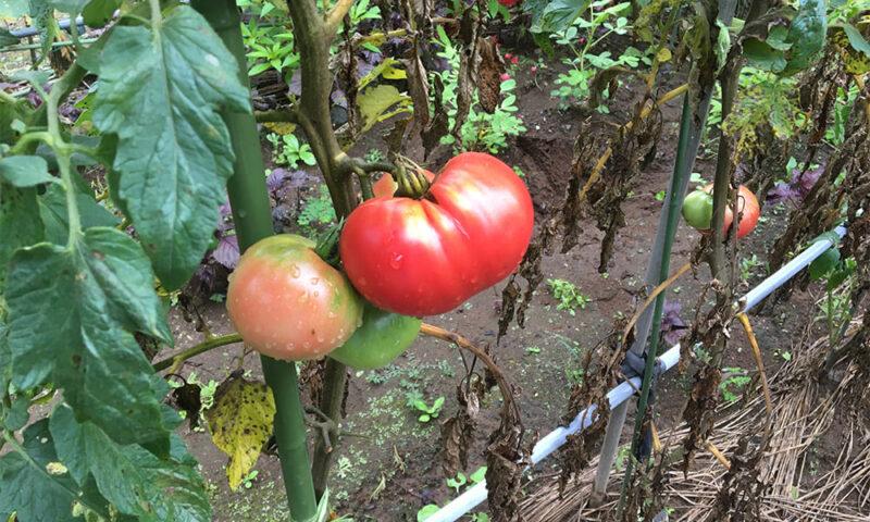実家の家庭菜園のトマト