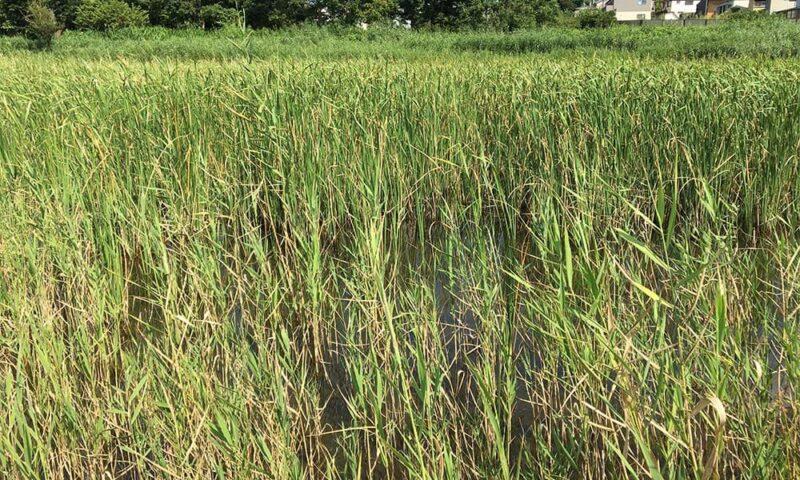 大柏川第一調整緑池の池