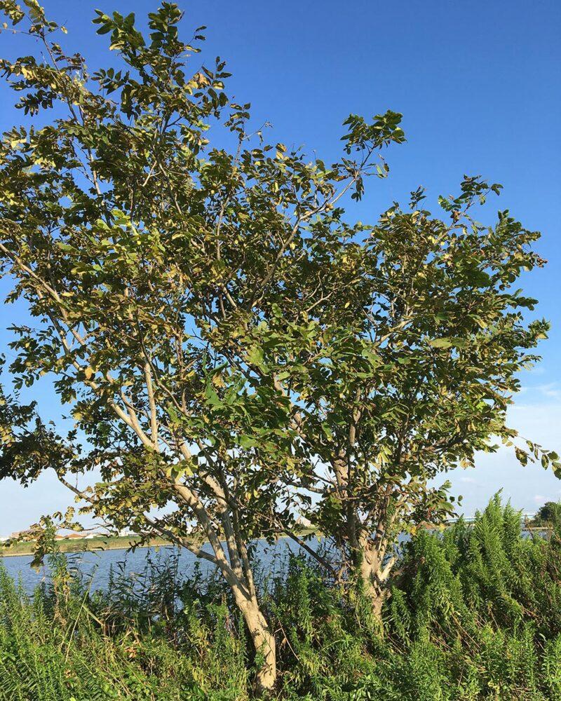 河川敷のクルミの木