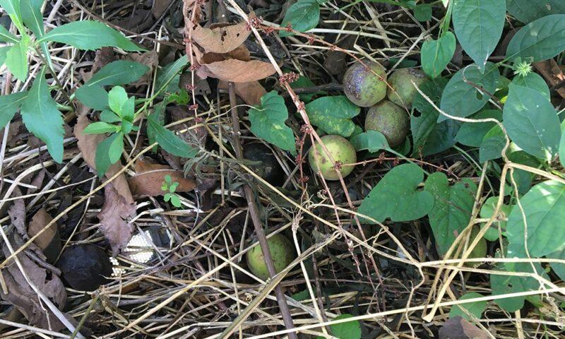 秋になるとクルミの木から落ちてくるクルミ
