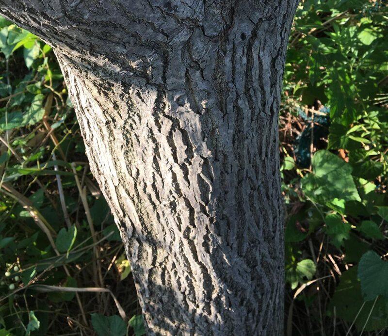 オニグルミの木の幹