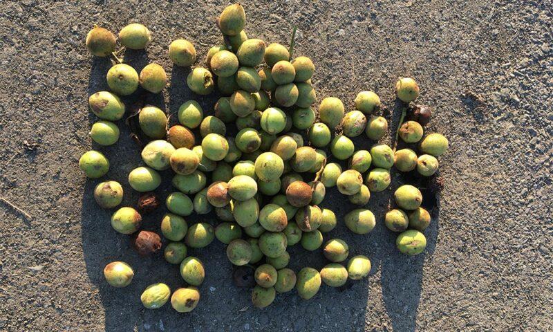 本日収穫したオニグルミ、100個ほど