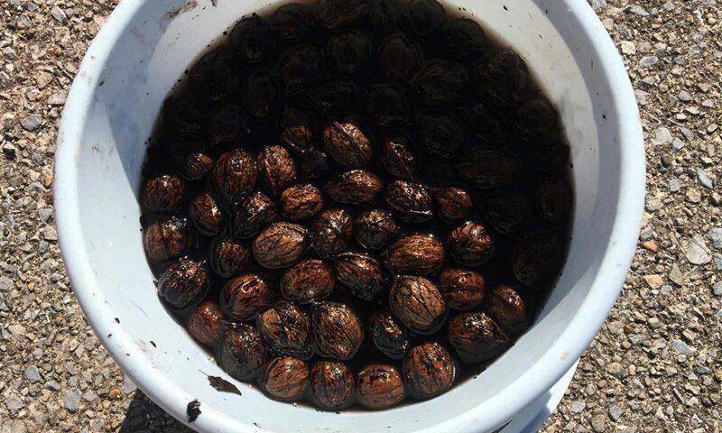 オニグルミの果肉を剥いて水洗い