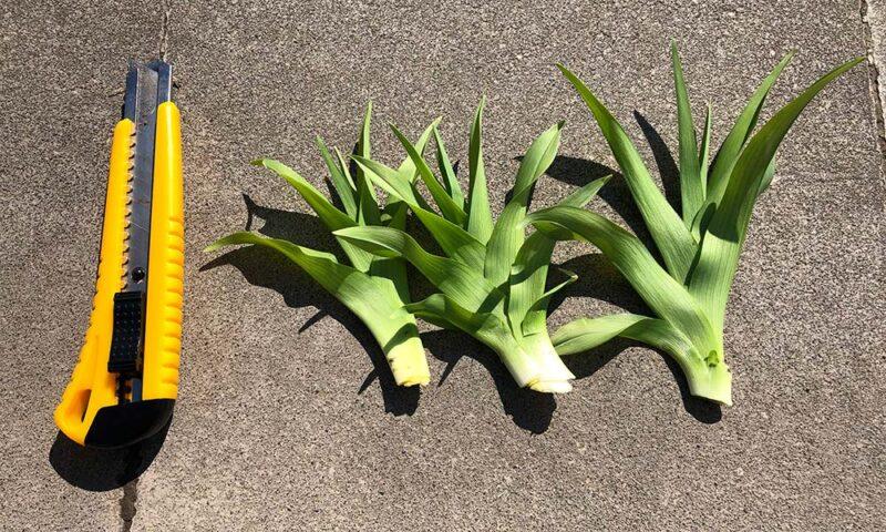 カンゾウの若芽はカッターやナイフで根元から切る