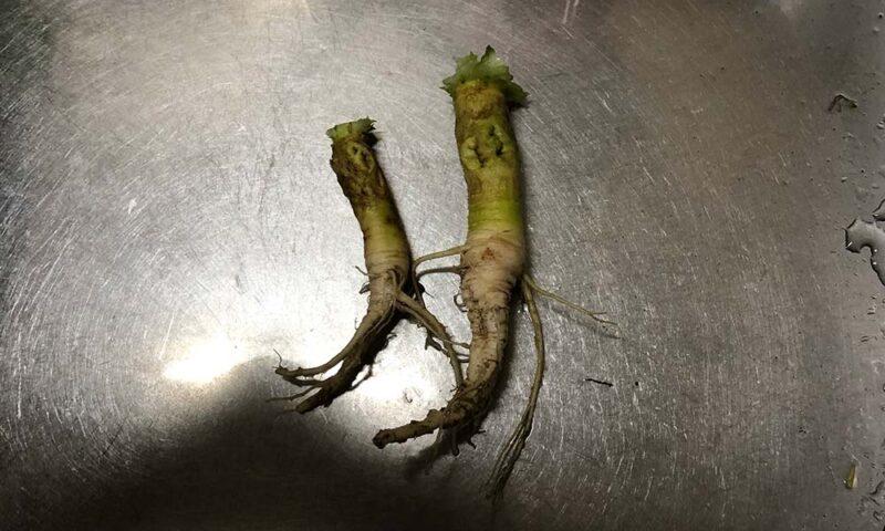 菜の花の大根のような根っこ