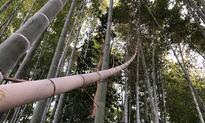 長い竹を伐採