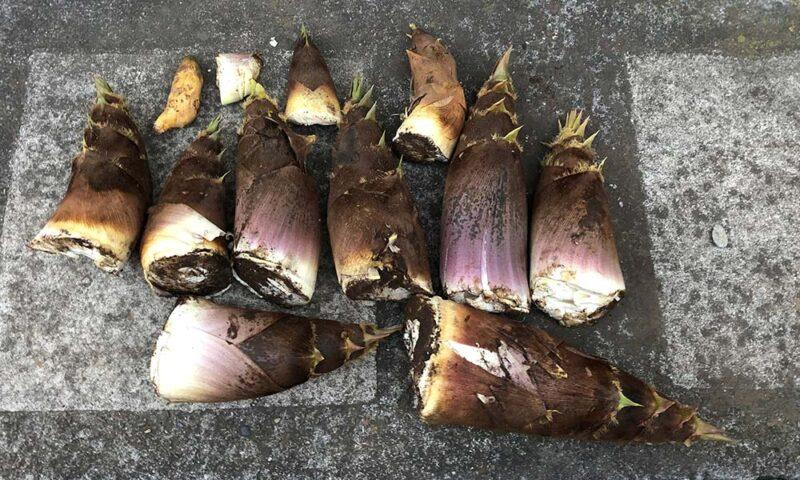 本日のタケノコの収穫。10本程度