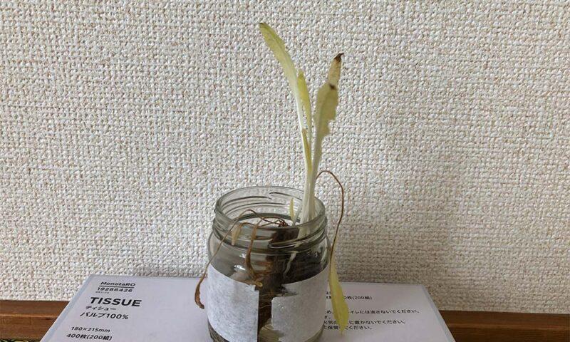 たんぽぽの軟白栽培