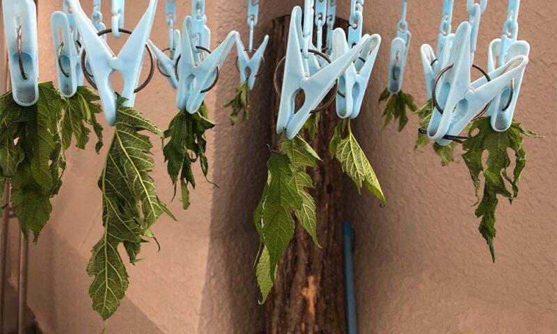 桑の葉を干す