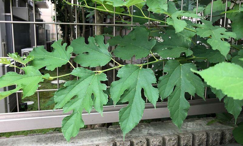 家の近所のお宅から生えてた桑の木