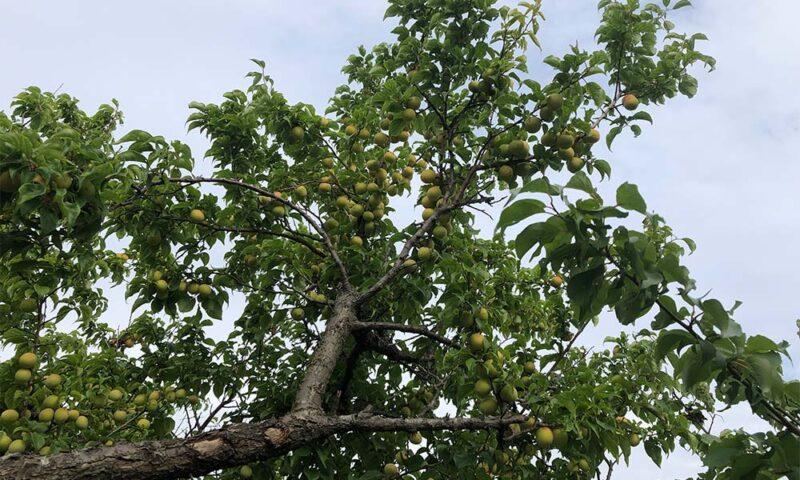 木の高いところにも梅いっぱい