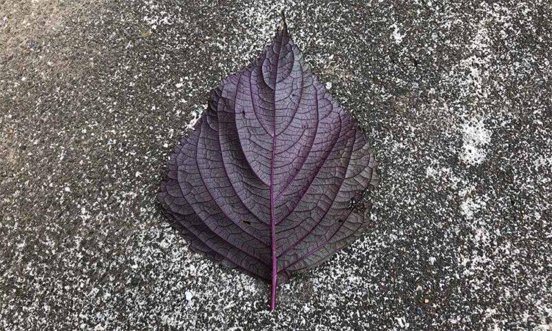 実家の庭の8月の赤紫蘇、裏は赤