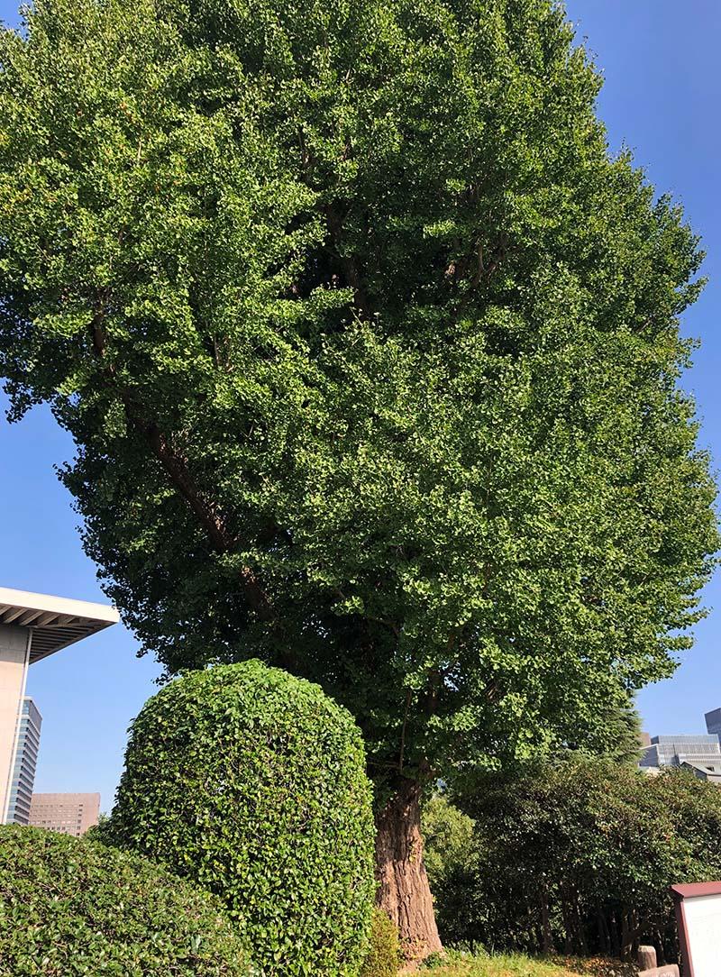 いちょうの大木